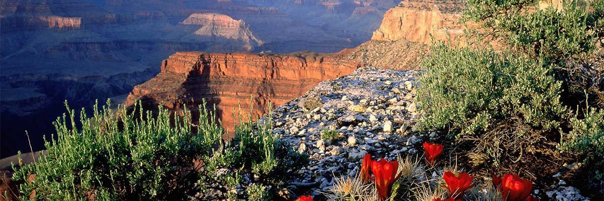 Picture of Grand Canyon with flower blooms
